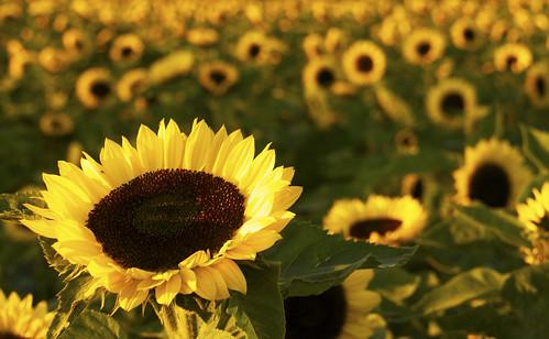 フリー写真素材, 花・植物, キク科, 向日葵・ヒマワリ, イギリス人,