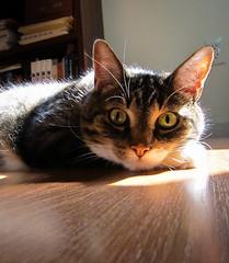 My Friend Gunther (sarabeephoto) Tags: sunlight animals cat sunbeam gunther lightroom canons90