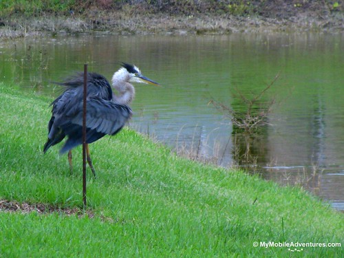 IMG_3989-Great-Blue-Heron