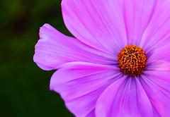 nucleus (Janine Graf) Tags: pink painterly flower macro nature canon garden botanical petals bloom cosmos gardenflower 5dmarkii janine1968 peapatchgarden