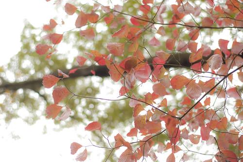 dogwood in autumn