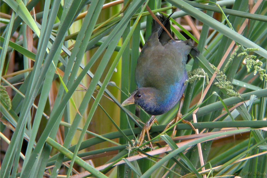 Purple-Gallinule-101007