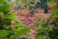 Fall Leaves at the Washington Park Arboretum (decidedlyodd) Tags: seattle red leaves washington leaf maple arboretum foliage japanesemaple washingtonpark