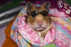 JERRY MODELO (matellate) Tags: hamster mascota