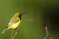Olive Backed Sunbird (Cinnyris jugularis) -2106 (Don Sausa) Tags: cinnyrisjugularis
