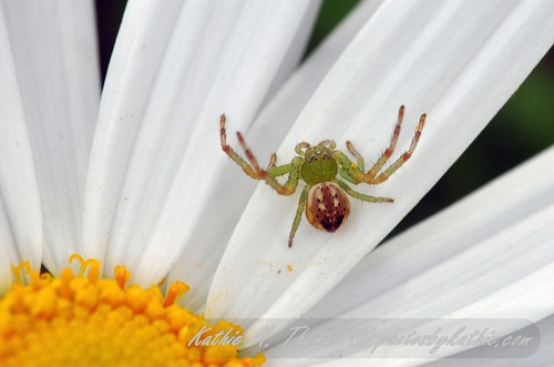 Tiny spider in the daisy
