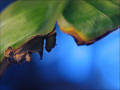 Bom dia, Juaca! (ccarriconde) Tags: blue joaquimmarques macro green azul brasil amigo bananeira friend ccarriconde cristinacarriconde banana folha fotgrafo bomdia tojuaca copyrightcristinacarricondeallrightsreserved cristinacarriconde 13dejunhode195017deoutubrode2004