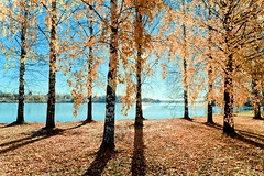 Sunny & birchy (Kari-S) Tags: autumn trees sun river birch sigma2470f28exdg imatra vuoksi canon5dmarkii utata:project=shadow