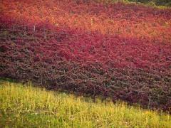 La sinfonia de la uva (lo.tangelini) Tags: color italia otoño toscana uva vino parras