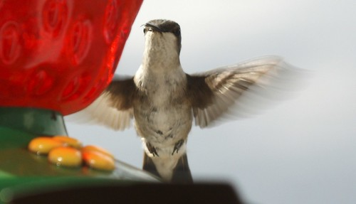 Ruby-throated hummingbird (2)