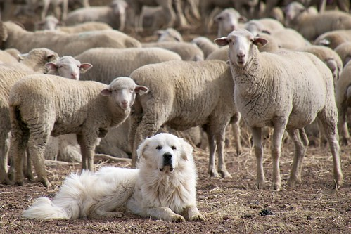 Great Pyrenees Sheep Dog Guarding the Flock