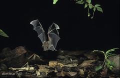 DNA_001166Fransenlippenfledermaus, Trachops cirrhosus, fringe-lipped bat