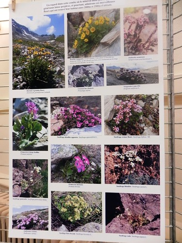 45 Les plantes des éboulis, alluvions et moraines par Maurice