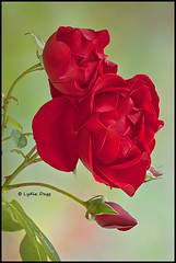 ROSES, RED - #1 (Lydia Dagg) Tags: goldstaraward absolutelyperrrfect persephonesgarden