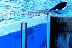 Believe (Seals4Reals) Tags: world park blue sea baby aquarium harbor clyde orlando marine florida cove dolphin nursery lion seal malia believe killer otter whale orca seaworld kayla shamu walrus katina horizons bottlenose pinniped orcinus nalani tursiops truncatus seamore trua lesquish