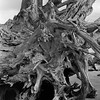 Uprooted (Stephen J W) Tags: driftwood bronica acros sqb metung ei200 semistand ps80 gsd10