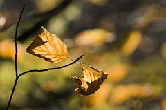 about to drop (Rupert stockwin) Tags: autumn fall leaves bokeh foliage beechleaf