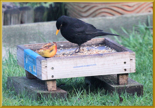 Blackbird and Apple 2