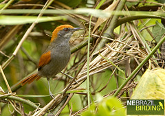 Pinto's Spinetail_Synallaxis infuscata
