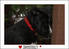 SweetBilly (janetfo747 ~ off and on for a while) Tags: friends red dog black cute beautiful puppy cherry niceshot sweet explore damn billy splash collar breathtaking picnik shootingstars northstar mostexcellent goldheart beautifulphoto abigfave robbinsegg crystalaward ithinkthisisart flickrdiamond globalvillage2 diamonheart heartawards theunforgettablepictures platinumheartawards colourartawards theperfectphotographer goldstaraward peaceawards 100commentgroup angelawards zensationalworld dartworks mostbeautifulpictures addictedtophotograph championsphotography sapphireawards livinglifebehindthelens sweetbilly