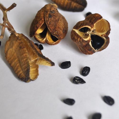 daylily seeds