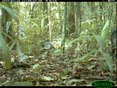 Great Tinamou (siwild) Tags: panamacanal greattinamou tinamusmajor largebirds geo:lon=915816 taxonomy:common=greattinamou sequence:index=36 taxonomy:group=largebirds sequence:length=40 file:name=img0136jpg siwild:plot=70 sequence:id=65044 siwild:trigger=132021 siwild:date=201001151125100 siwild:study=panamacanalmammalsurvey siwild:Rank=0 siwild:studyId=panamammal geo:locality=panama taxonomy:species=tinamusmajor siwild:location=2322 siwild:camDeploy=1802 siwild:imageid=1135743 file:path=dpicsrunsticksbcibarbour1219img0136jpg sequence:key=20 siwild:region=panama BR:batch=sla0620101121083839 siwild:species=128 geo:lat=79832444