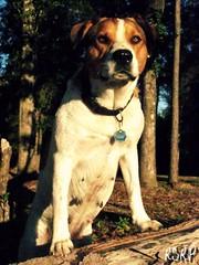 A creed to live by (PHOTO ENTERED INTO MODERN DOG MAGAZINE!! PLZ VOTE!!) (Willow Creek Photography) Tags: dog mutt posing canine harley brownandwhitedog pitmix dogposing houndmix standupforyourself memorycornerportraits harleyrey pithoundmix