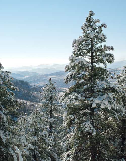 The distant hazy blue Rocky Mountains of Colorado are seen through a picture frame of snow clad pines.