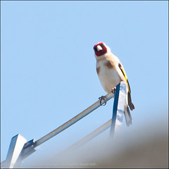 Targeting (*ian*) Tags: blue sky bird rooftop nature square wildlife goldfinch perched favourite featheryfriday bigemrg