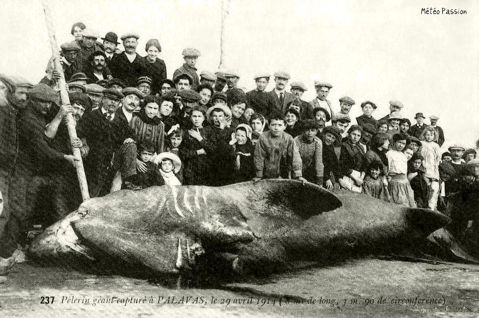requin pélerin exhibé à Palavas les Flots le 29 avril 1914