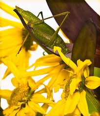 Ginormous! Humongous! It's size XXX! (CharsShots) Tags: flowers green yellow insect clichsaturday longhornedgrasshopperithink