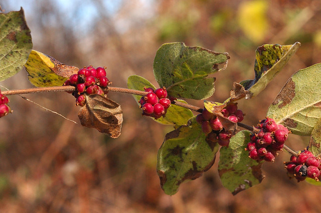 Broemmelsiek Park, in Saint Charles County, Missouri, USA - red berries with leaves along stalk