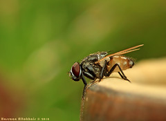 (hassan altokhais) Tags: macro canon flash 100mm ii f28 ef 580ex 500d speedlite