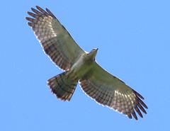 東方蜂鷹,楊明淵攝,台灣猛禽研究會提供