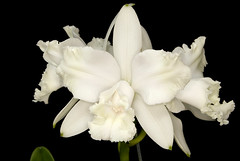 Cattleya intermedia alba (Jader S. Klein) Tags: brazil orchid brasil alba cattleya orchidee riograndedosul branca intermedia brsil orqudea