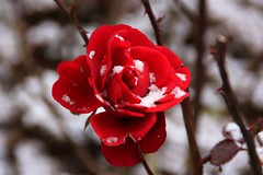 Première neige (Mi-crobe) Tags: red snow flower fleur rose canon rouge purple violet neige baies 450d pascalerousseau