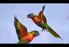 Rainbow Lorikeets flying - My lucky shot!! (Vanessa Mylett) Tags: life wild sky color macro bird nature beautiful birds animal closeup canon fly flying inflight amazing interesting wings movement eyes colorful bright action bokeh background wildlife flight wing australian beak feathers parrot australia best sharp landing 7d queensland colourful rainbowlorikeet flapping parrots lorikeets plumage australiana australianwildlife 100mmf28 beaudesert trichoglossushaematodus psittacidae scenicrim psittaciformes 100mmcanon wingswing borderfx canon7d slbflying slblanding 7dcanon earthnaturelife 100mm28l canon7deos stheast