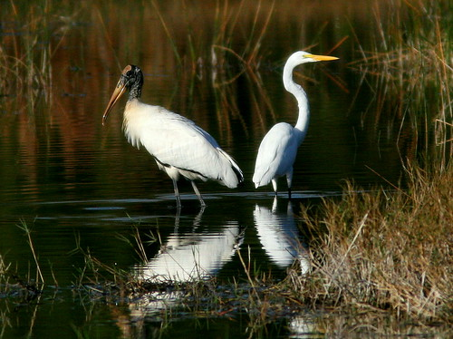 Stork and Egret 20101201