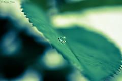 💧...one drop only (martinap.1) Tags: green leaf drop nikon nikond3300 natur nature nikon40mmmacro tropfen grün outside droplet tröpfchen smileonsaturday lessismore