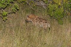 Spotted hyena - Crocuta crocuta (timohannukkala) Tags: crocuta spotted hyena
