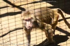 mantelbaviaan - Papio hamadryas - Hamadryas baboon (MrTDiddy) Tags: mantelbaviaan papio hamadryas baboon blackpineanimalsanctuary black pine animal sanctuary albion indiana
