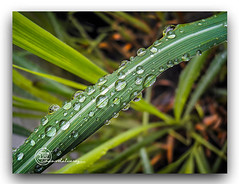 CHOVE. (manxelalvarez) Tags: ©todos los derechos reservados © 2017 manxelmanxeles all rights reserved grass leaf veins waterdrops
