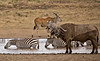 Buffalo, Eland and Zebra 2 (Grete Howard) Tags: bestsafarioperator bestsafaricompany africa africansafari africanbush africananimals whichsafaricompany whichsafarioperator tanzania serengeti animals animalsofafrica animalphotos lions lioncubs maasaikopjes kopjes kopje