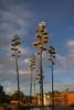 Tonight's Spectacle (suenosdeuomi) Tags: agaveamericana centuryplant