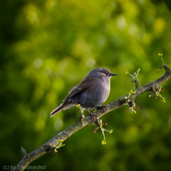 Heckenbraunelle - Dunnock (TheBearded) Tags: vogel vögel bird birds dunnock heckenbraunelle
