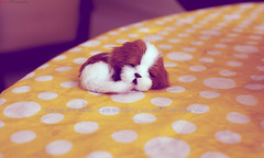 sleeping dog doll (Qiao.Wei) Tags: 35mmf14 canon5dmarkii sleepingdogdoll