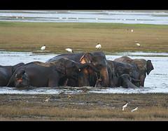 Bath (Sara-D) Tags: wild nature canon nationalpark tank dusk wildlife elephants srilanka ceylon bathing sarad elephantsbathing kaudulla asianwildlife saranga kaudullanationalpark wildelephants sarangadevadealwis wildsrilanka sarangadeva
