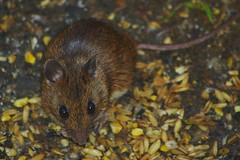 Pentax K100D.Flash.55-300mm Lens.An Early Morning Long Tailed Wood Mouse Under My Bird Feeders.July 28th 2010. (Blue Melanistic.Twelve Million Views.) Tags: wood ireland summer window nature animal fauna garden mouse mammal pentax wildlife flash july overcast feeders raining 2010 ulster tyrone melanistic k100d 55300mmlens
