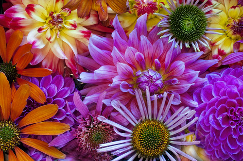 Dahlias and Echinaceas