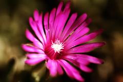 Pink (Pachibro Portfolio) Tags: pink flowers fleurs canon eos petals purple violet rosa fiori fiore petalo pistillo 400d canoneos400d scattifotografici pasqualinobrodella pachibroportfolio pachibro